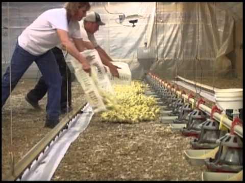 Placing 20,000 Chicks