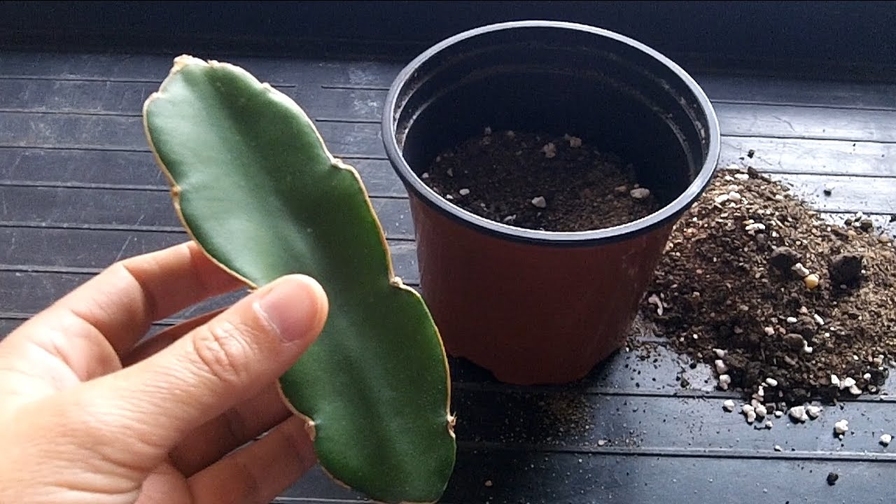 How To Grow A Dragon Fruit Cactus From A Cutting Hylocereus Youtube