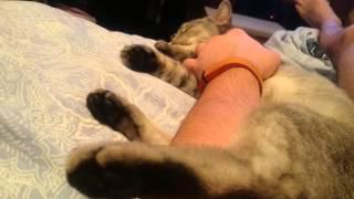 Коту снятся сны