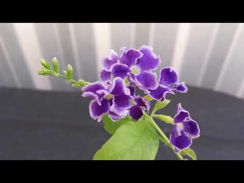 How To Grow Duranta Erecta From Cuttings
