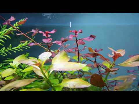 Ludwigia natans(super red)