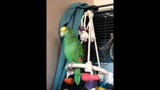 The many sounds of an amazon parrot.