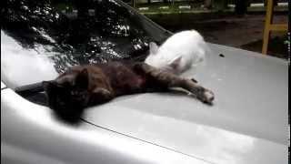 оборзевшие кошки на машине  2