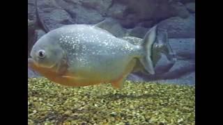 Пресноводные виды рыб акватеррариума