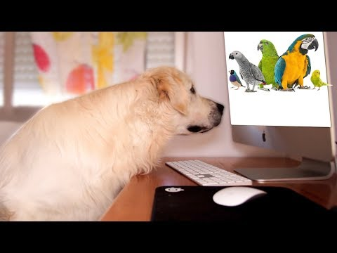 Funny Dog Reaction to Parrots - Cute Golden Retriever Bailey