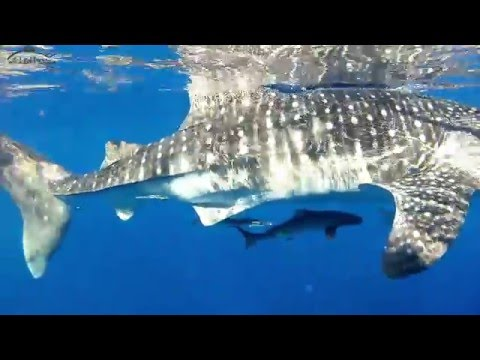 Whale Shark With Rare Albino Remora Fish And Cobia Filmed Off Central QLD,  Australia