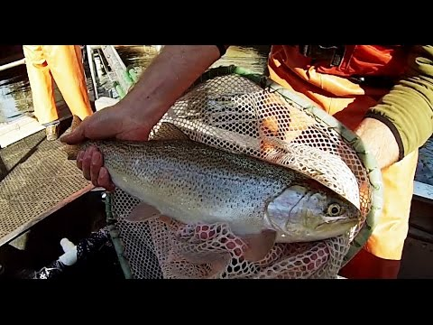 Shocking and Tagging Coastal Cutthroat Trout in Washington State