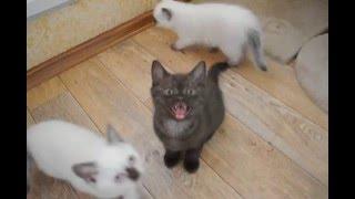 Британские котята шоколадные и шоколад поинт в питомнике British House