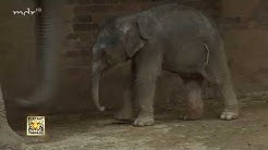 Elefantenbaby im Zoo Leipzig geboren