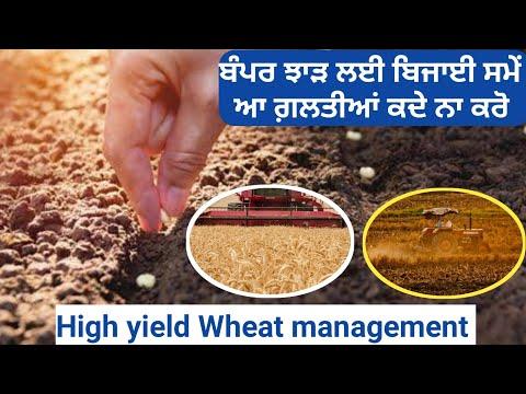 High yield wheat