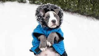ADOPTING A PITBULL PUPPY! (from Main Street Mutt Rescue)