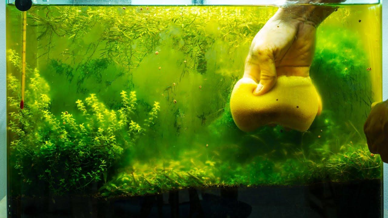 Aquarium algae problems algae eaters aquarium plants for What fish eat algae