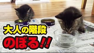 13日目。【子猫】ニャンだ!?このカリカリうまいニャー!〜Kitten eating cat food for the first time!〜