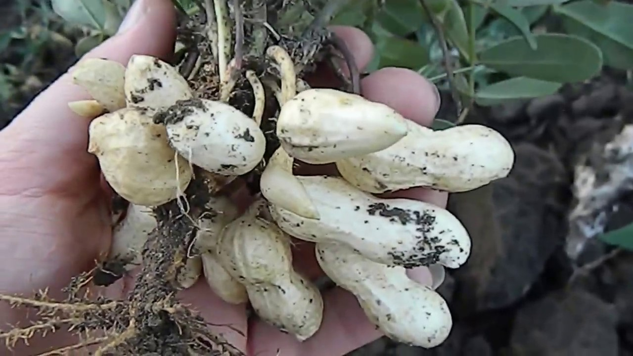 Как растет арахис? How to Grow Peanuts - YouTube