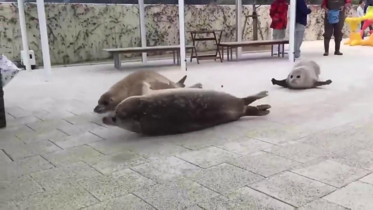 прыгающие тюлени гифка словам