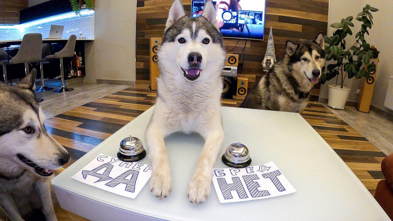 ТЫ ТАКОЕ ВИДЕЛ? Хаски Разговаривает! Говорящая собака Маламут отвечает на вопросы