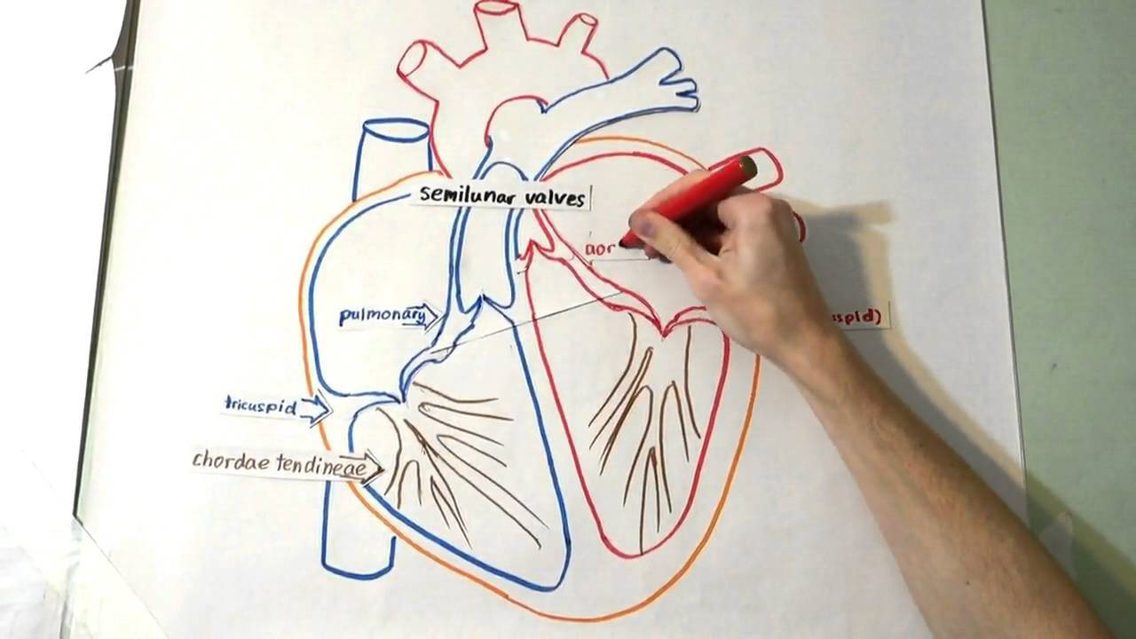 The heart structure and function youtube the heart structure and function ccuart