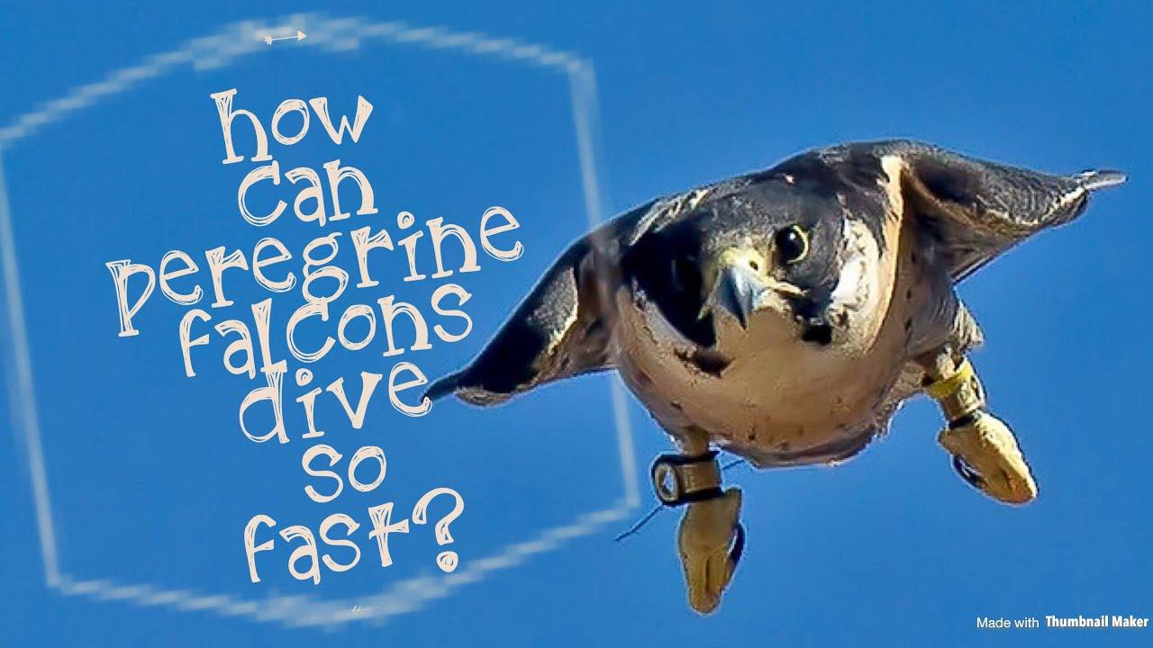 How Can Peregrine Falcons Dive So Fast Peregrinefalconlover Youtube