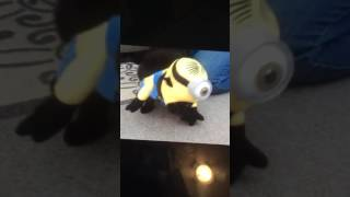 MY CAT OSCAR IN  THE MINION COSTUME!! | Bloodhorn Night