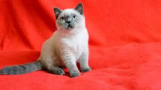 Купить шотландского котенка. Котята для Вас: шотландские котята блю-поинт окраса.