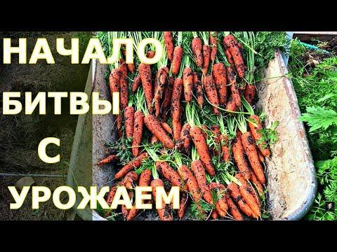 Уборка УРОЖАЯ МОРКОВИ В ИЮЛЕ. ПОДМОСКОВЬЕ. СОВМЕСТНЫЕ ПОСАДКИ лука и моркови