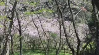 真依子 - なごり桜