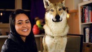 Wolfdog Kitchen - What to feed a wolfdog?