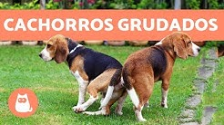 Cachorros grudados depois de cruzar - POR QUÊ?!
