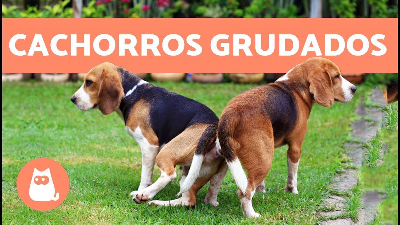 Cachorros Grudados Depois De Cruzar Por Quê