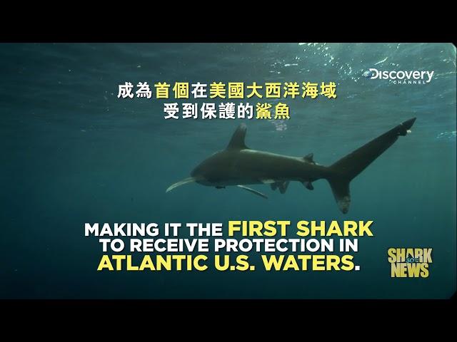 鯊魚週30週年特輯 Shark News : 白鰭鯊