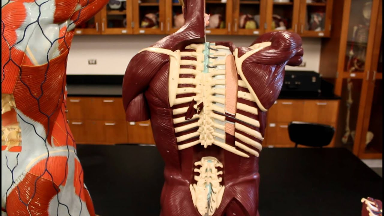 Muscular System Anatomyback Region Torso Muscles Model Description Anatomy Diagram