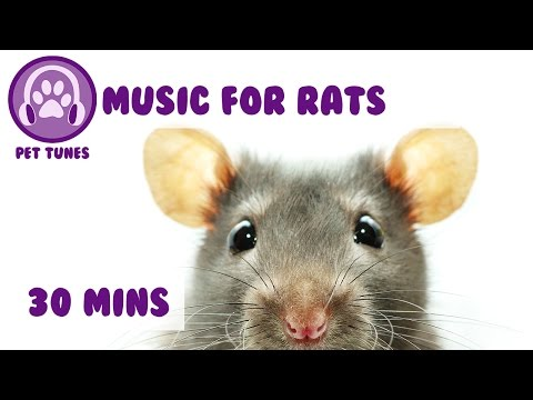 Music for Your Pet Rat! Rat Music, Calm Down Your Rat with Relaxing Music