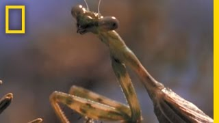 Praying Mantis vs. Grasshopper