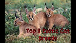 Top 5 Most Exotic Cat Breeds!!