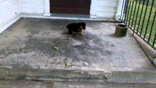 Dakota has accident (my fault) 7 weeks rottweiler
