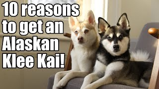 Alaskan Klee Kai: 10 reasons why you need a Mini Husky!