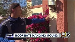 "Valley residents have trouble with ""roof rats"""