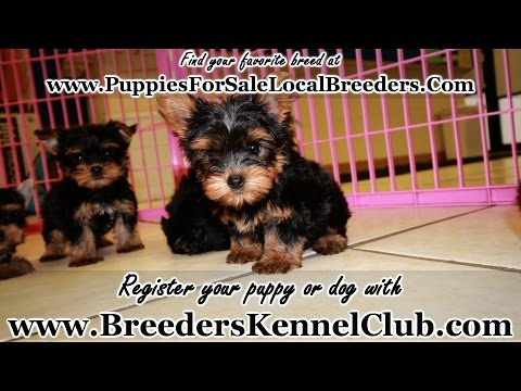 T Cup Yorkie PUPPIES FOR SALE GEORGIA LOCAL BREEDERS