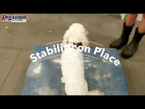 """1 Year Old Havanese """"Sir Winston"""" Before/After Video 