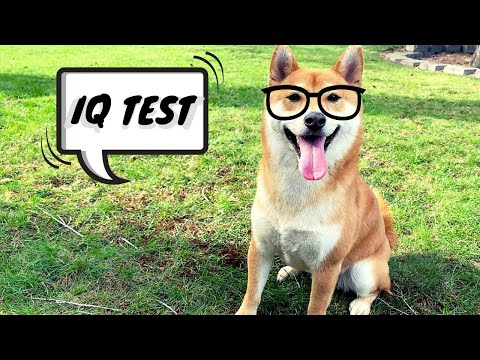 How Smart is a Shiba Inu  Intelligence Test Beginner Level | Super Shiba
