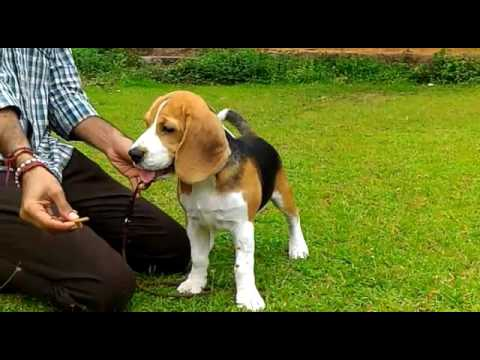 Beagle Puppies For In Faridabad