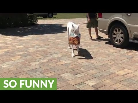 Great Dane pizza delivery attempt ends in failure