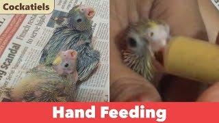Hand Feeding Baby Cockatiels