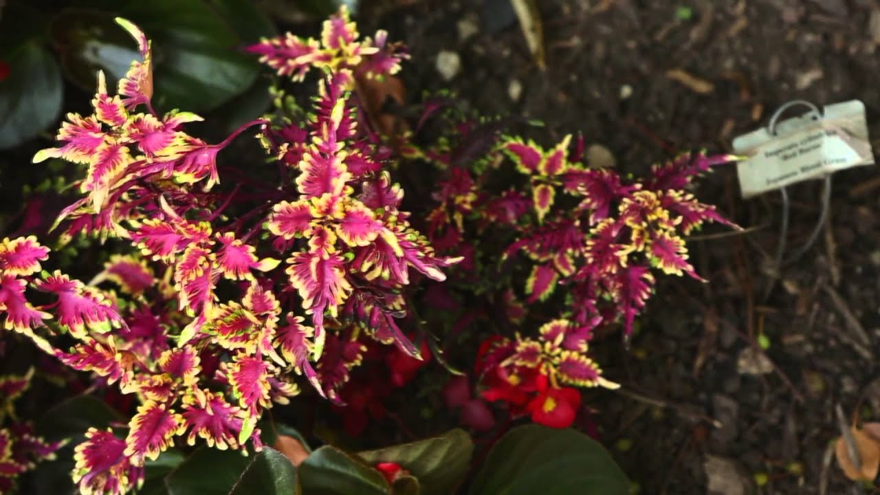 Plant Coleus in Your Home Garden YouTube