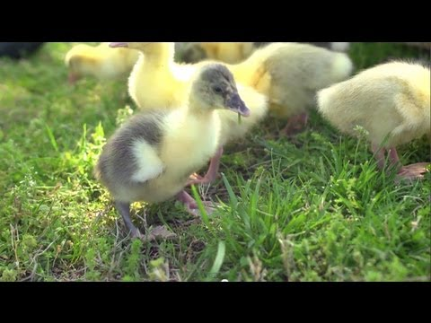 Goslings Imprint on Allen | Farm Raised With P. Allen Smith