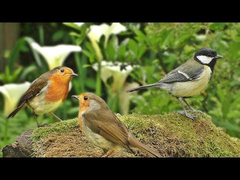 Sounds for Cats – Beautiful Woodland Birds