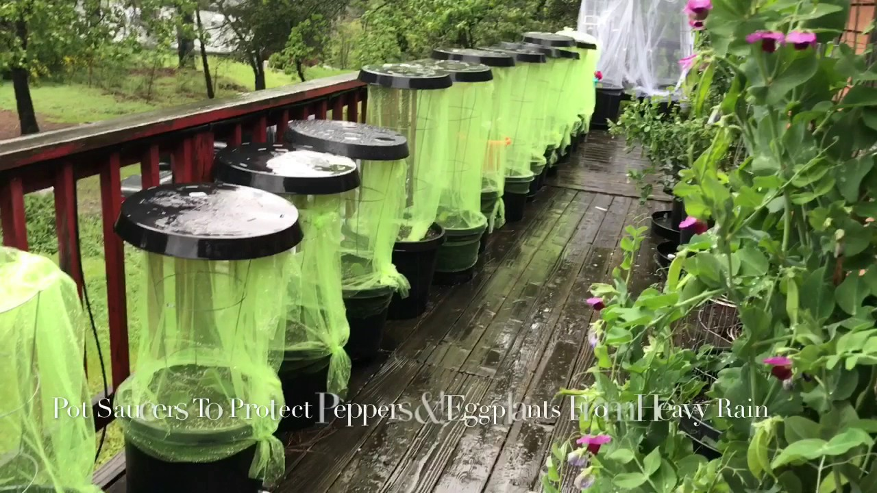 Garden Hacks Protect Pepper Plants Egg From Heavy Rains Storm With Pot Saucers