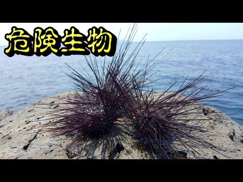 危険生物を使って地磯で釣りしてみたら...(Vol.220)