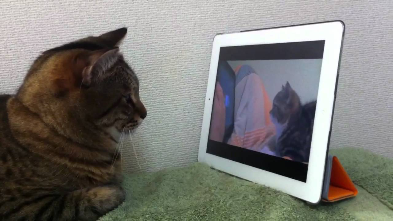 Cat 7 Cable >> Cat watches cat watching nyan cat - YouTube