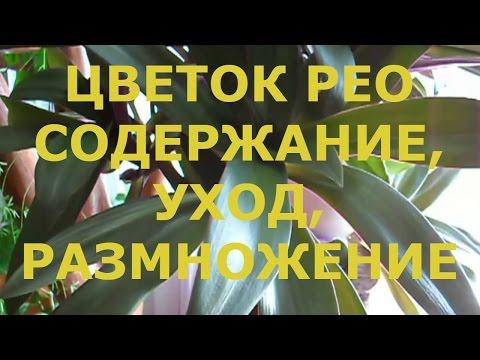 Комнатный Цветок Рео / Содержание Рео и Уход